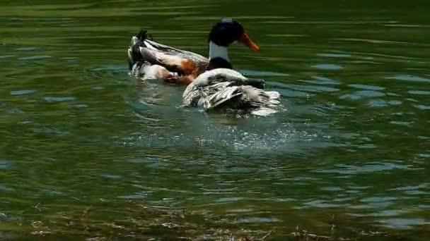 Ducks Swim on a Beautiful Natural Lake
