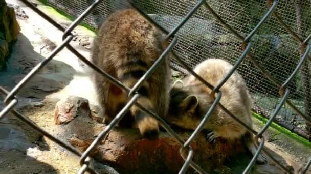 Raccoons in a Zoo eats Fish and Other Food