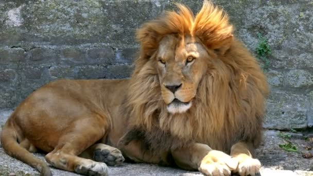 Beautiful Lion is the King of the Animals