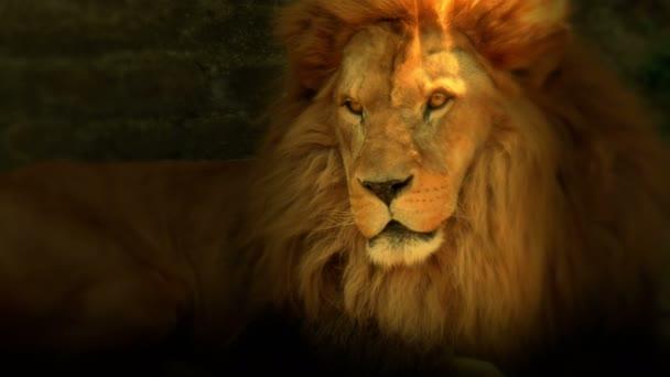 Bello leone è il re degli animali