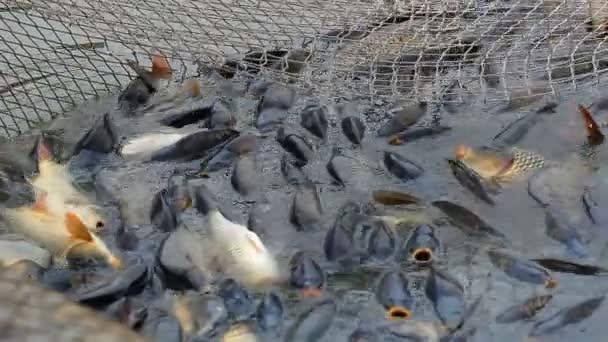 rybí farma