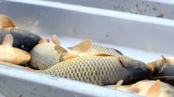hal osztályozása