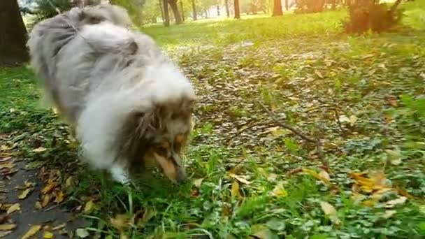 Rough Collie In Slow Motion