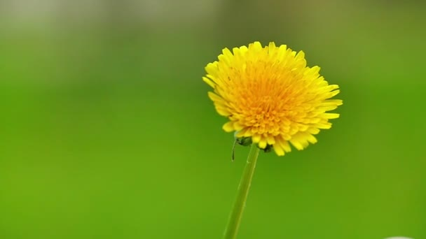 Dandelion in Nature in Slow Motion