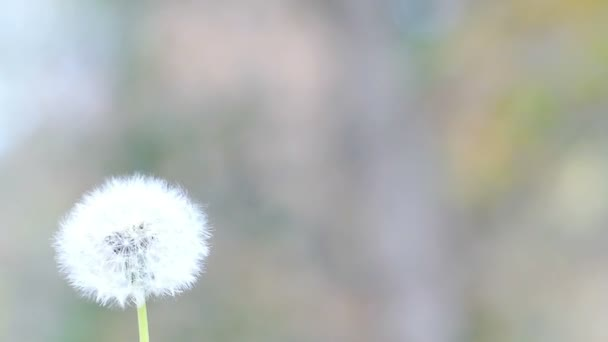 Blowing Dandelion in Nature in Slow Motion