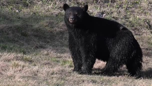 Fekete medve a kanadai vadonban