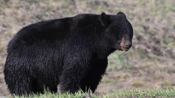 Black bear in the Canadian wilderness