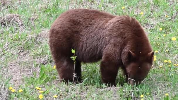 Black bear in the Canadian Rockies