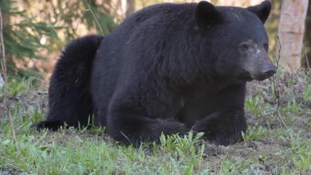 Fekete medve a Kanadai Sziklás-hegységben