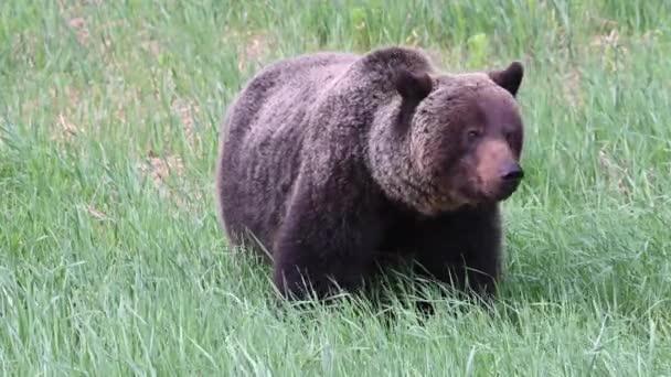 Grizzly medve a kanadai vadonban