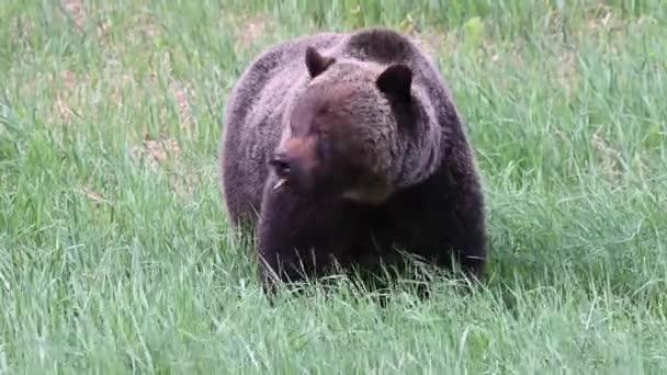 Medvěd grizzly v kanadské divočině