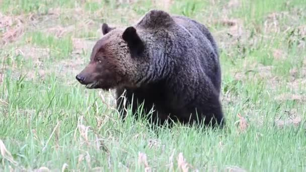 Grizzly bear in the Canadian wilderness