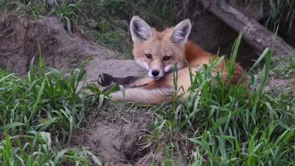 Red fox in the wild