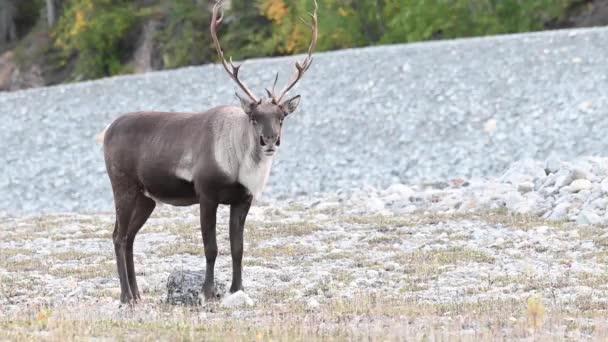 Hegyi rénszarvas a kanadai vadonban