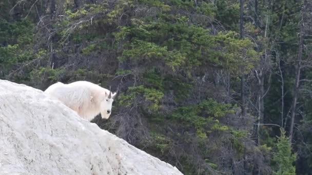 Horská koza v divočině