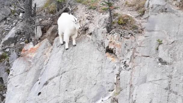Horská koza Kanadské skály
