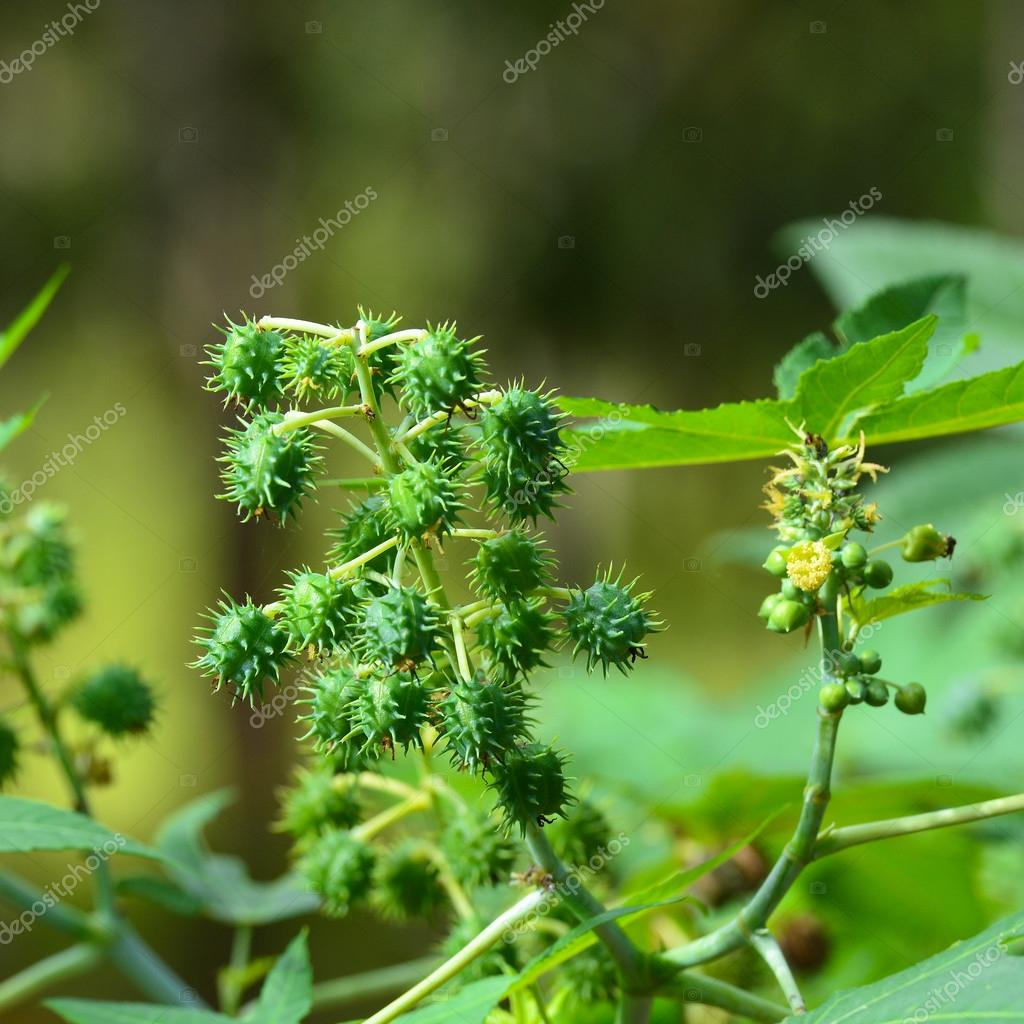 Biodiesel is produced from the seed pods of castor bean plants o