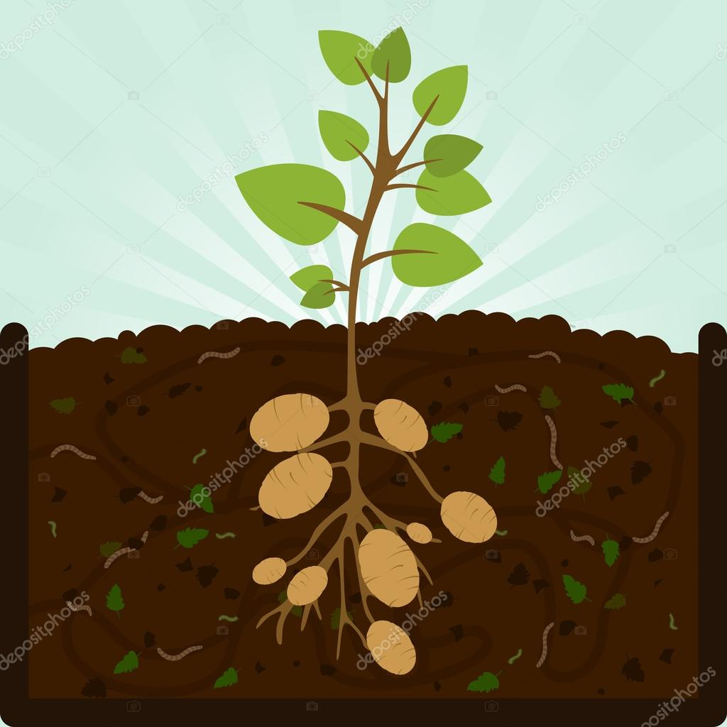 Planting potatoes and compost