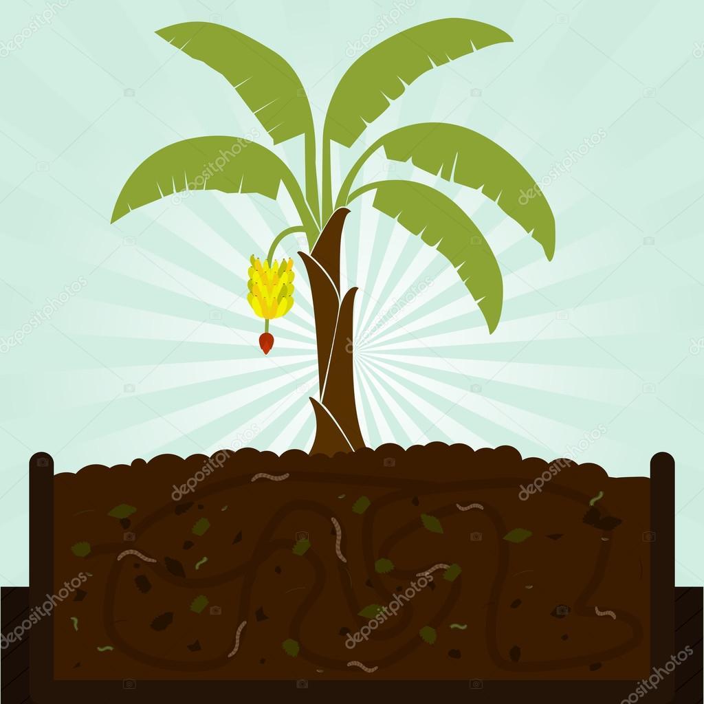 Banana tree and compost