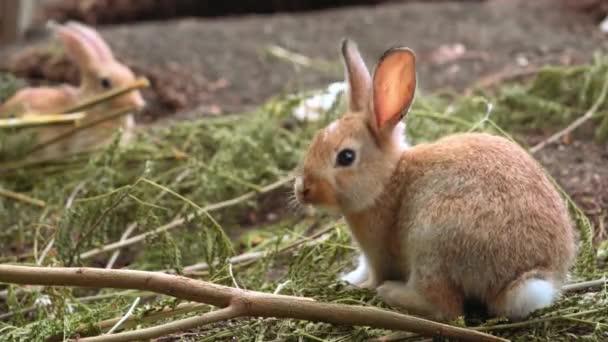 niedliches kleines orangefarbenes Kaninchen