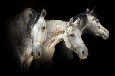 Three horse portrait isolated