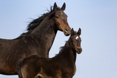 Mare with colt portrait