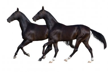 Two black horse isolated on white