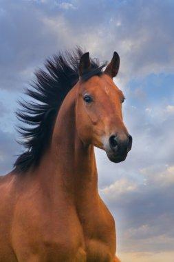 Bay horse portrait at sunset