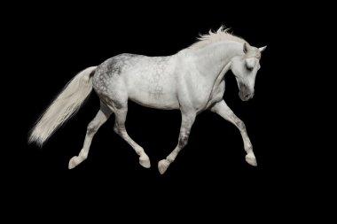 White horse isolated