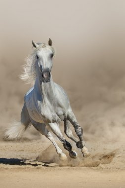 Grey arabian horse run in dust