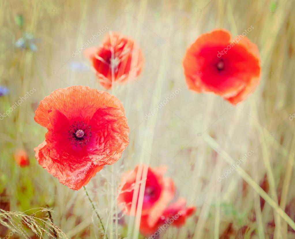 Retro Style Picture Of Poppy Flowers Shallow Depth Of Field