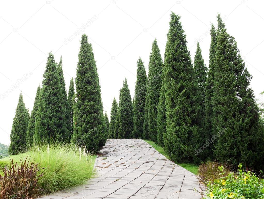 Pinos con hierba verde en el jard n fotos de stock for Tipos de pinos para jardin fotos