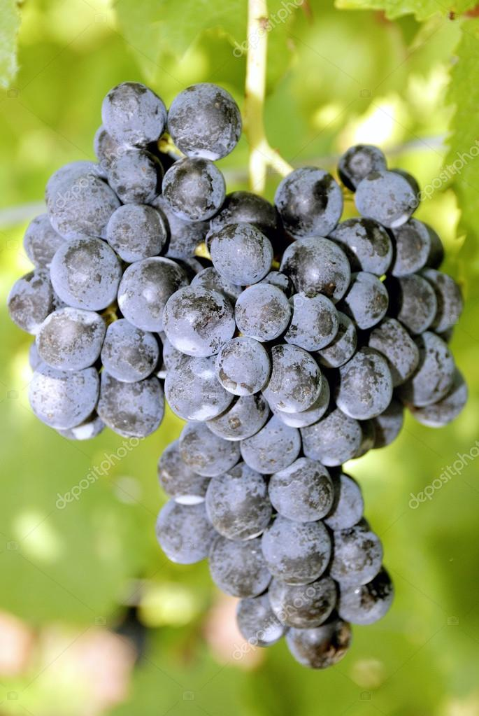 Grape from South Tyrol