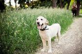 schöner Hund für einen Spaziergang im Park läuft