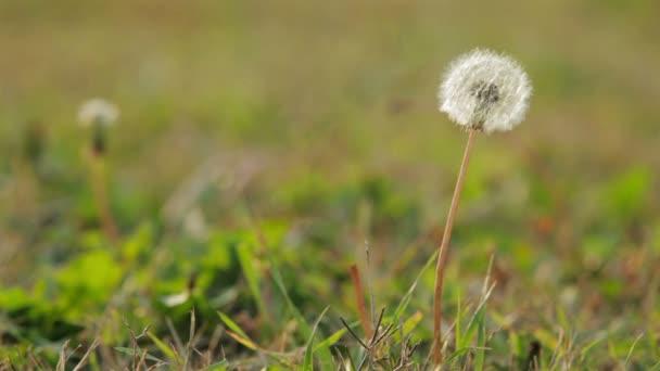 Pampeliška semena foukané ve větru