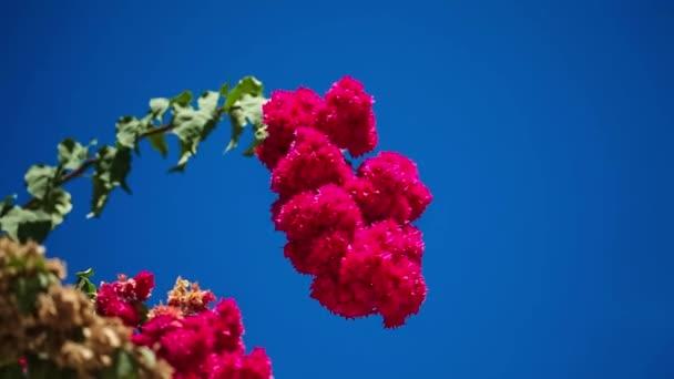 Krásné červené květy kymácí ve větru. Modrá obloha a palm stromy v pozadí. Letní prázdniny koncept
