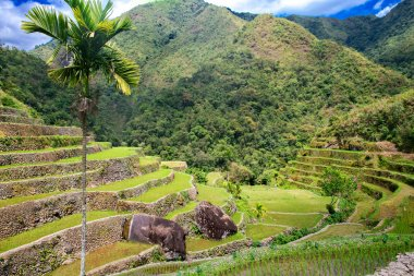Rice terraces in the Philippines. Rice cultivation in the North