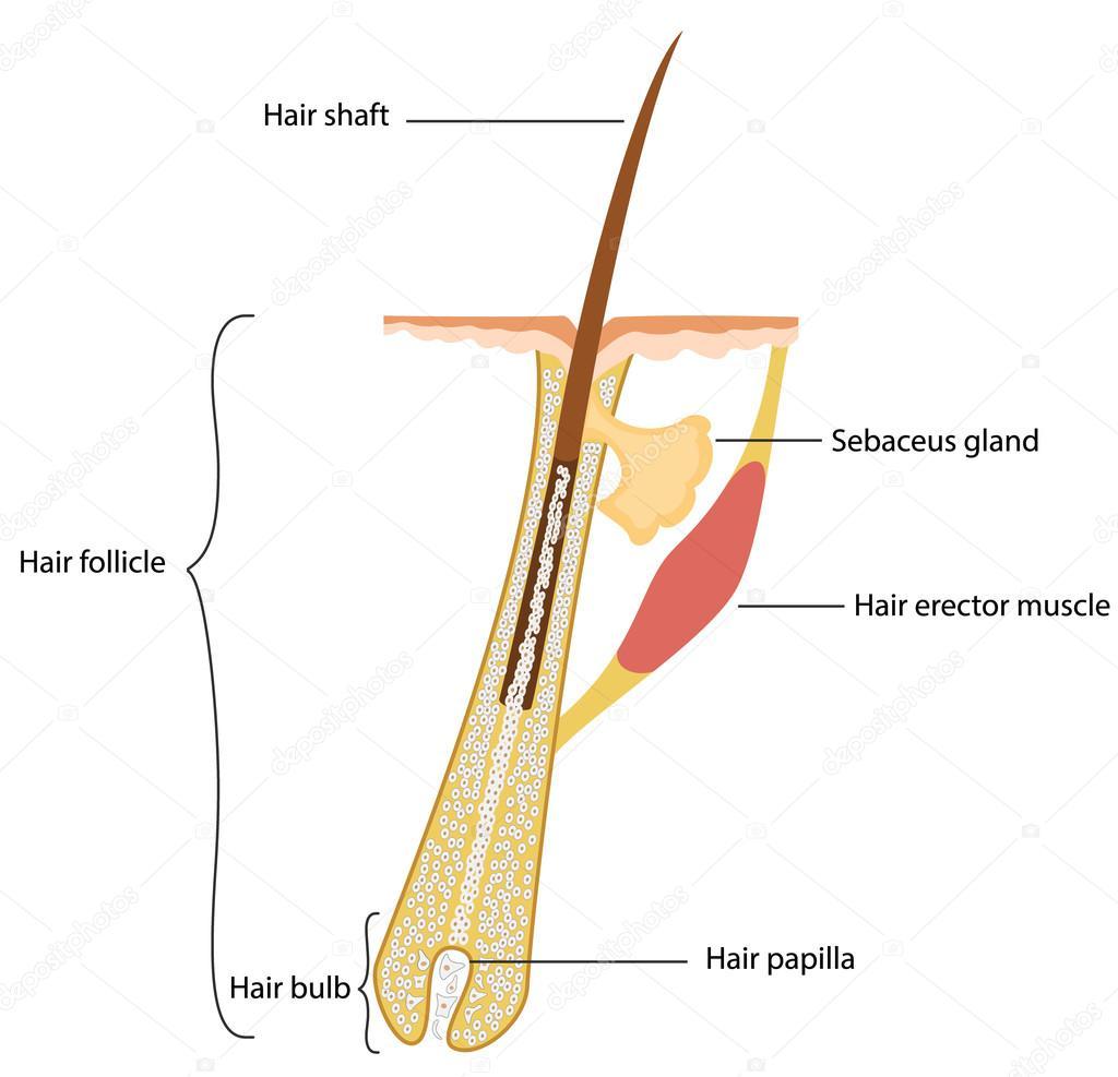 Estructura del pelo humano — Vector de stock © iLexx #94137206