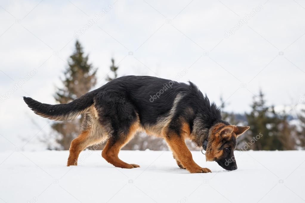German Shepherdin the snow