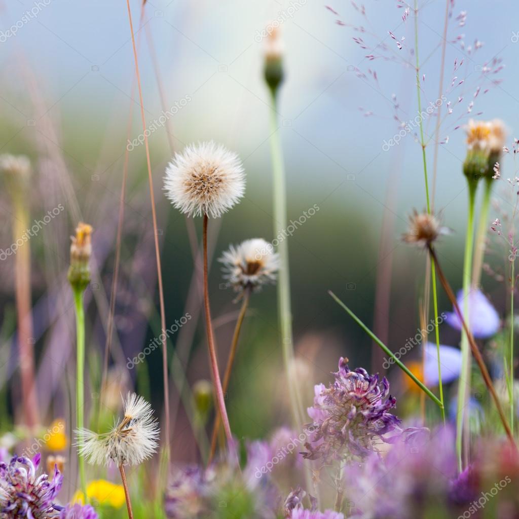 Blooming flowers of dandelion