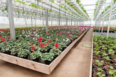 Flower culture in a greenhouse