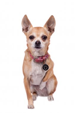 Chihuahua, 9 years old, on the white background