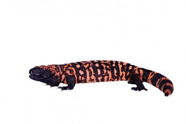 Gila Monster isolated on white