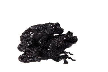 Theloderma ryabovi, rare spieces of frog on white