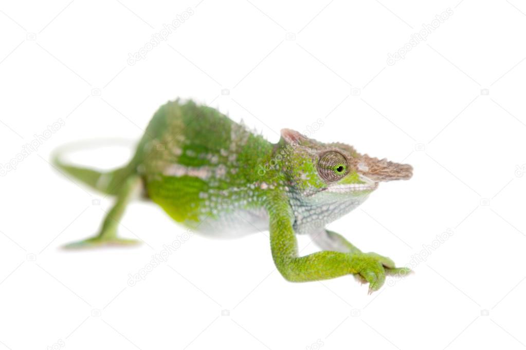 Fischers chameleon kinyongia fischeri on white stock photo fischers chameleon kinyongia fischeri on white stock photo thecheapjerseys Images