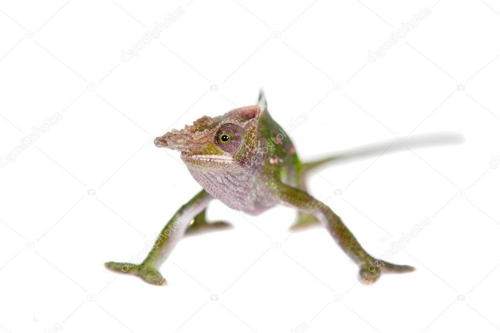 Fischers chameleon kinyongia fischeri on white stock photo fischers chameleon kinyongia fischeri on white stock photo thecheapjerseys Choice Image