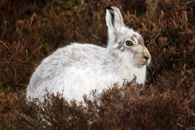 The mountain hare (Lepus timidus) on a Scottish Mountain in the Heather.