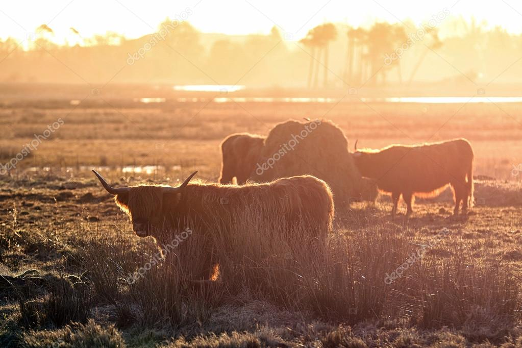 Highland Cows are a Scottish Cattle Breed. Here backlit in the early morning sun.