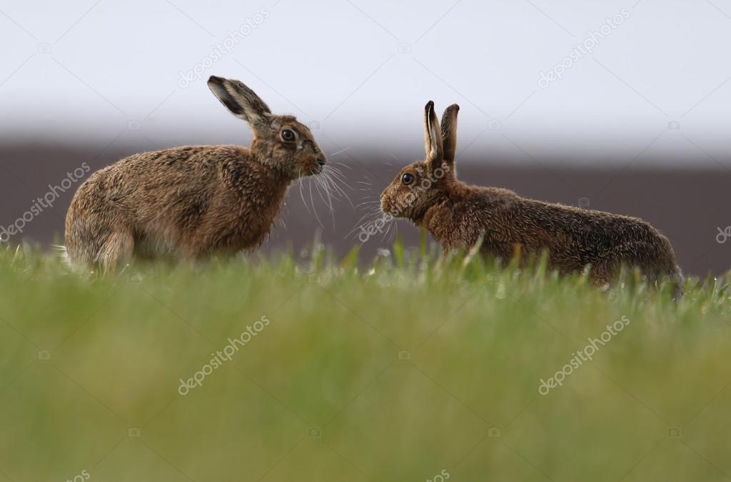 Mad March Hares! European or Brown Hares (Lepus europaeus)