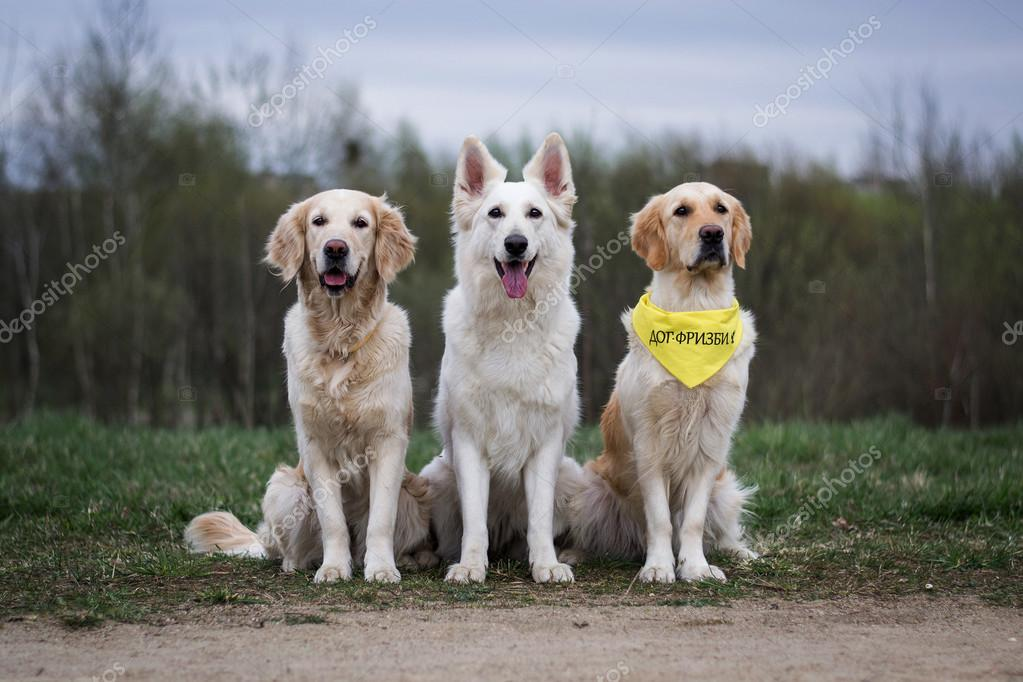 drei hunde golden retriever wei er schweizer sch ferhund stockfoto faina sapfira 71473345. Black Bedroom Furniture Sets. Home Design Ideas